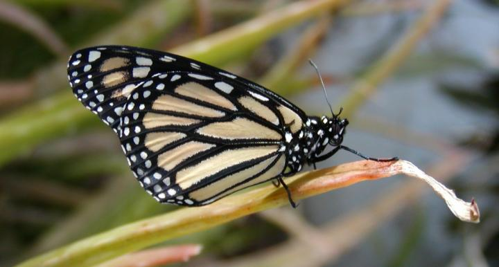 A western monarch pictured in a backyard in Tucson.